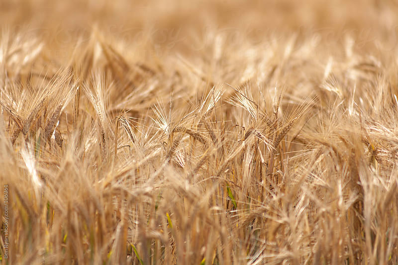 Heads of wheat ripe for harvest by Ben Ryan for Stocksy United
