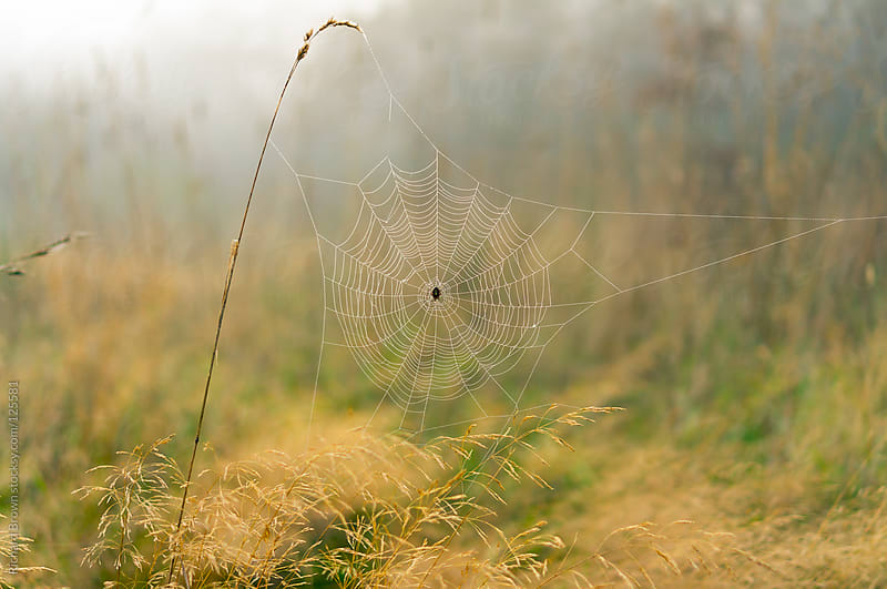 Foggy spider web with dew by Richard Brown for Stocksy United