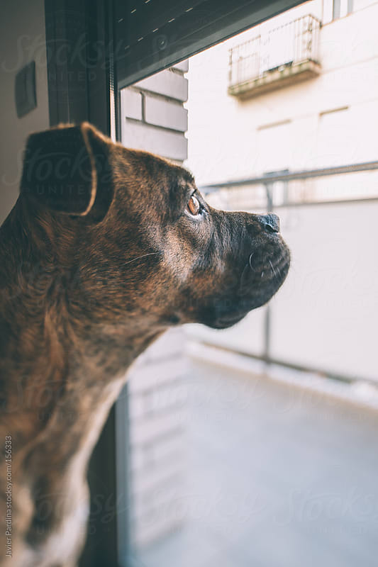 a dog looking to the street from the window by Javier Pardina for Stocksy United