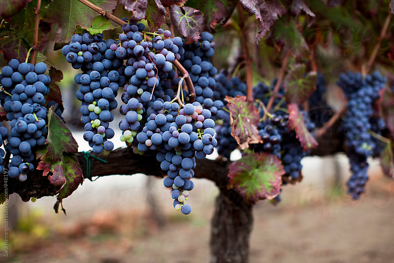 Purple Grapes Ready for Harvest by Sara Remington for Stocksy United