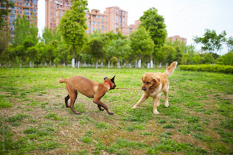 Malinois and golden retriever playing outdoor by cuiyan Liu for Stocksy United