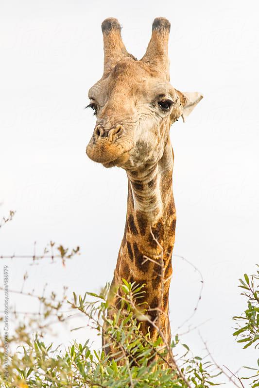 Giraffe portrait by Alejandro Moreno de Carlos for Stocksy United
