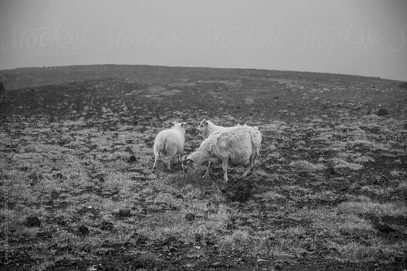 Iceland Sheep by Carey Haider for Stocksy United