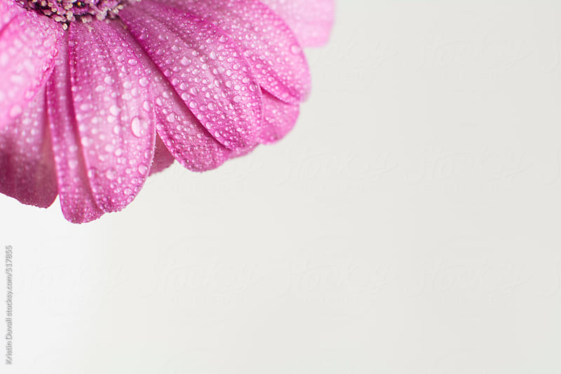 Pink daisy with water droplets by Kristin Duvall for Stocksy United