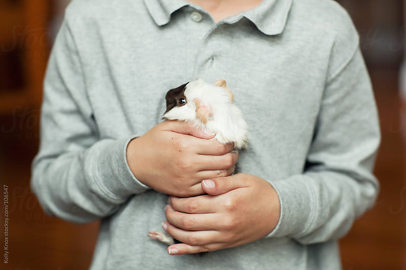 boy holds his pet guinea pig by Kelly Knox for Stocksy United