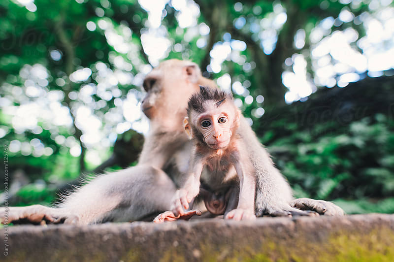 Baby long-tailed macaque, Ubud, Bali, Indonesia by Gary Radler Photography for Stocksy United