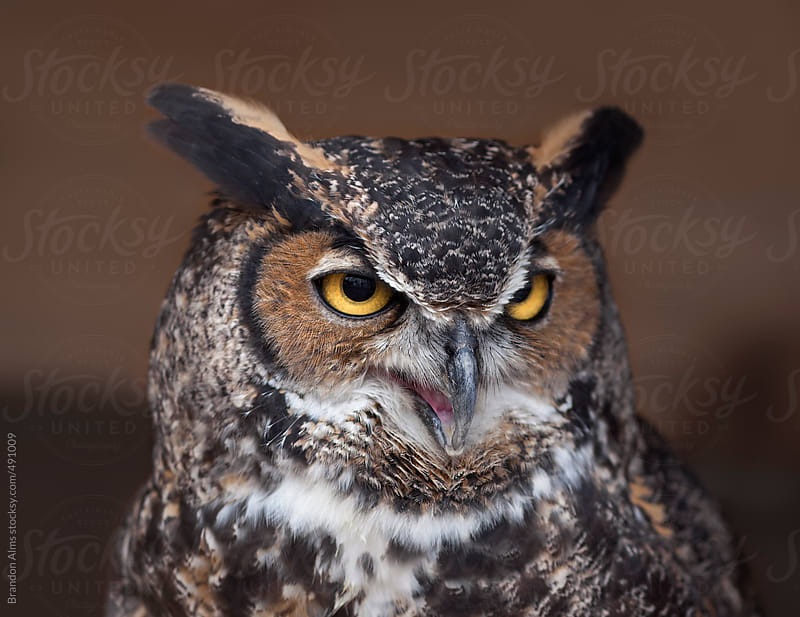 Great Horned Owl by Brandon Alms for Stocksy United