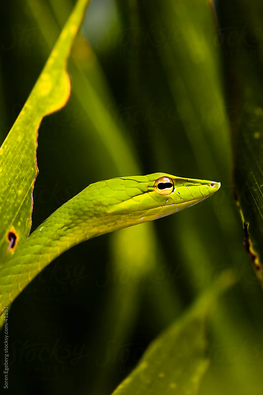 Green Oriental Whip Snake in tropical jungle by Soren Egeberg for Stocksy United