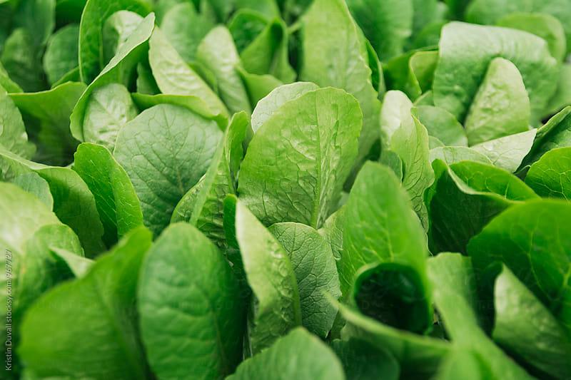 Growing lettuce by Kristin Duvall for Stocksy United