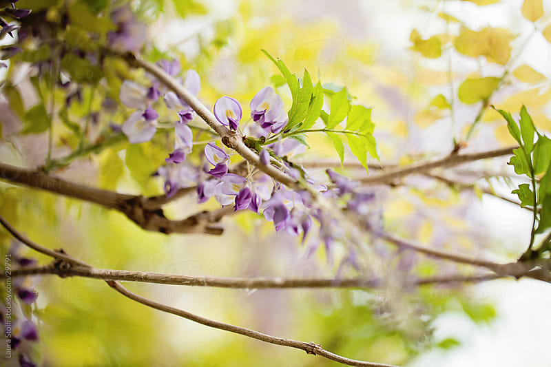 Close-up of Wisteria flower in bloom on the plant by Laura Stolfi for Stocksy United