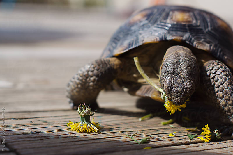 desert tortoise eats dandelion by Tana Teel for Stocksy United