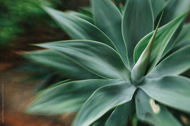 Close up of Agave Attenuata, shot with specialty lens, horizontal by Jacqui Miller for Stocksy United