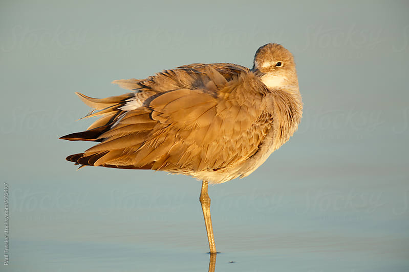 Willet by Paul Tessier for Stocksy United