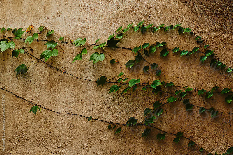 green ivy on grey wall by Atakan-Erkut Uzun for Stocksy United