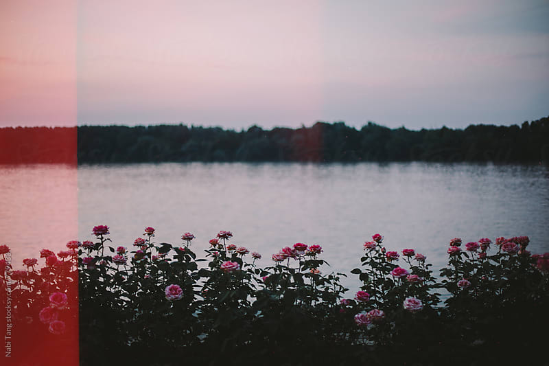 Landscape of rose garden by the river at sunset time by Nabi Tang for Stocksy United