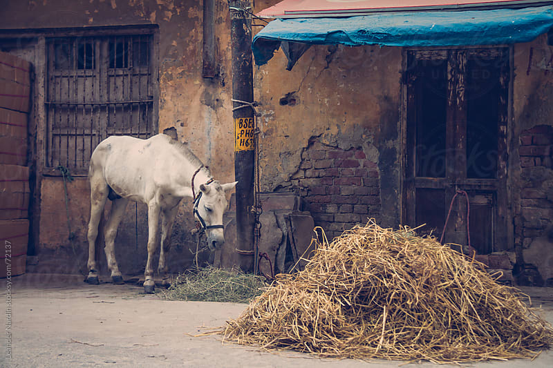 white horse eating hay in front of a weathered building by Leander Nardin for Stocksy United