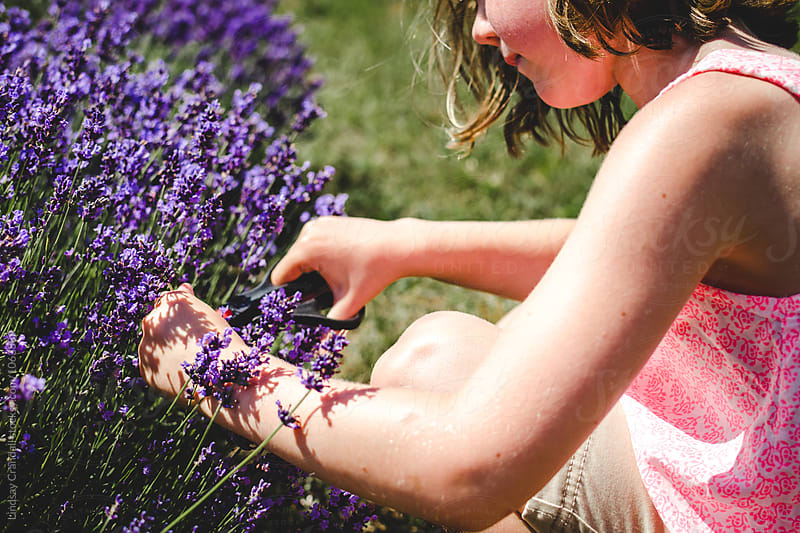 Girl cutting lavender in a field by Lindsay Crandall for Stocksy United