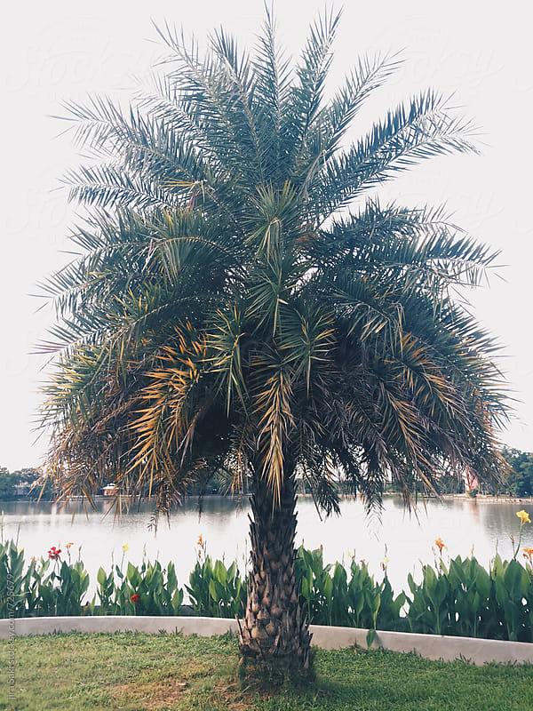 palm tree by jira Saki for Stocksy United