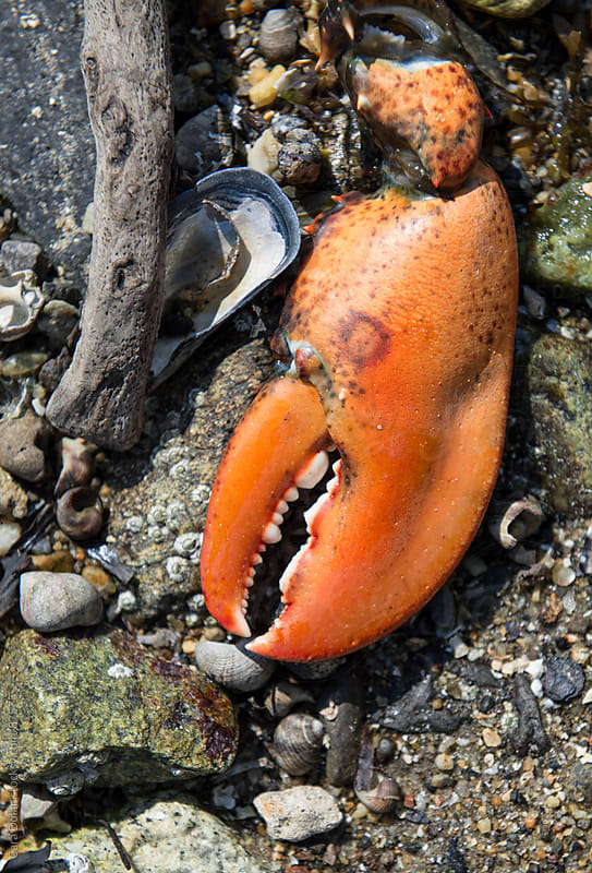 Lobster claw found on a beach filled with rocks and shells on the coast of Maine by Cara Dolan for Stocksy United
