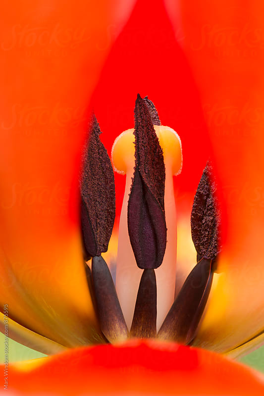 Inside a Red Tulip, closeup by Mark Windom for Stocksy United
