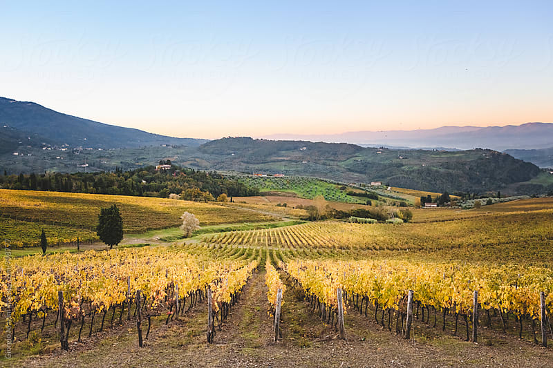 Tuscan Vineyard in Autumn by Giorgio Magini for Stocksy United
