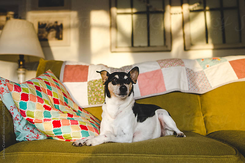Dog sitting on a couch with colorful pillows by Lindsay Crandall for Stocksy United