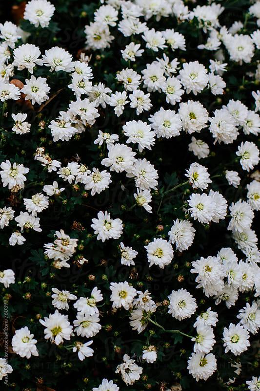Chrysanthemum flowers background by Andrey Pavlov for Stocksy United