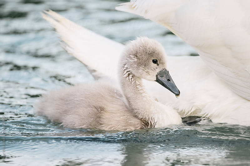 Baby swan with swimming with her mother by Peter Wey for Stocksy United
