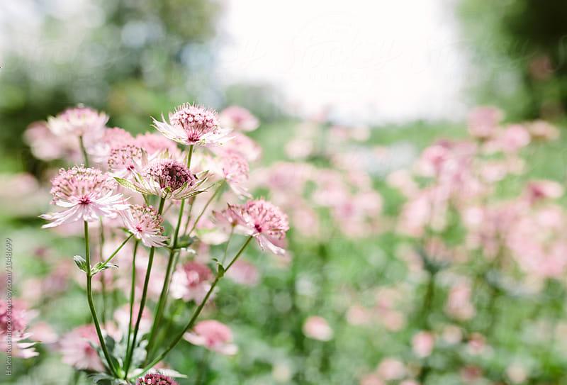 Pink Astrantia Major flowers