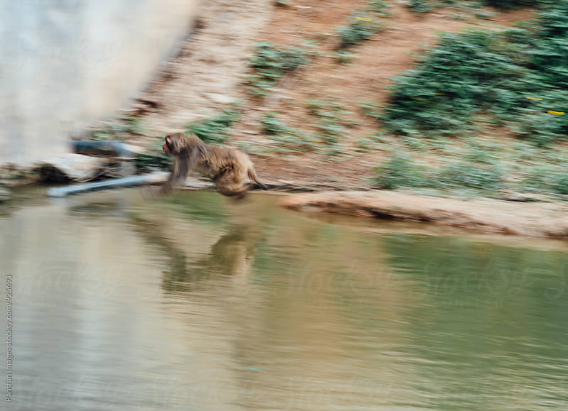animal monkey jumping into river by Pansfun Images for Stocksy United