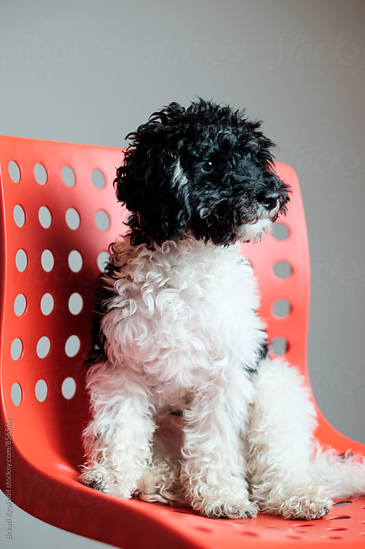 Harlequin Poodle Sitting on the Chair by Brkati Krokodil for Stocksy United