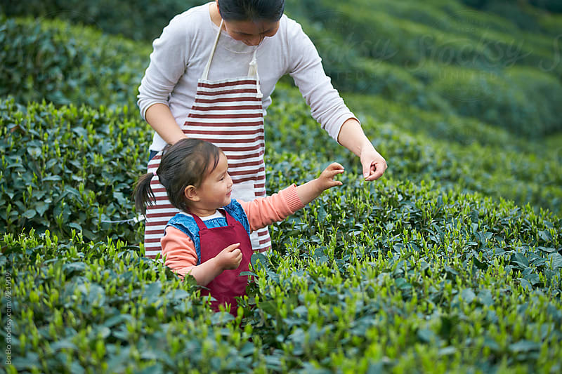 little asian girl with her mother working in the tea plantation by Bo Bo for Stocksy United