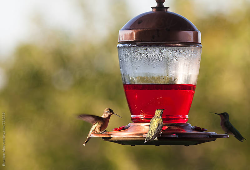 Ruby-Throated Hummingbirds Drinking on a Feeder by Brandon Alms for Stocksy United