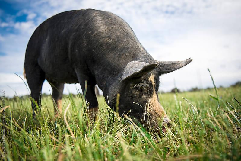 Free Range Berkshire Pig grazing  by Gary Radler Photography for Stocksy United