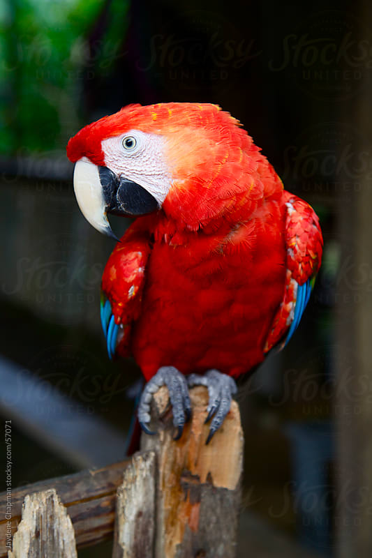 Bright red parrot in sitting on a wooden gate post the jungle, Banos, Ecuador by Jaydene Chapman for Stocksy United