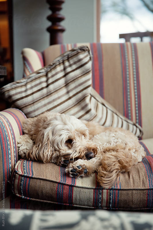 Cockapoo on the sofa by Ruth Black for Stocksy United