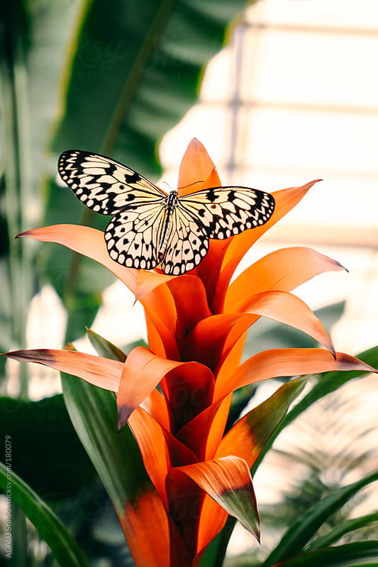 Butterfly on orange flower by ACALU Studio for Stocksy United