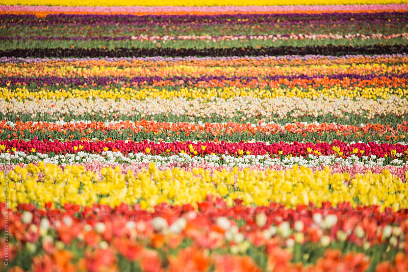 stripes of colorful flowers in tulip field by Cameron Zegers for Stocksy United