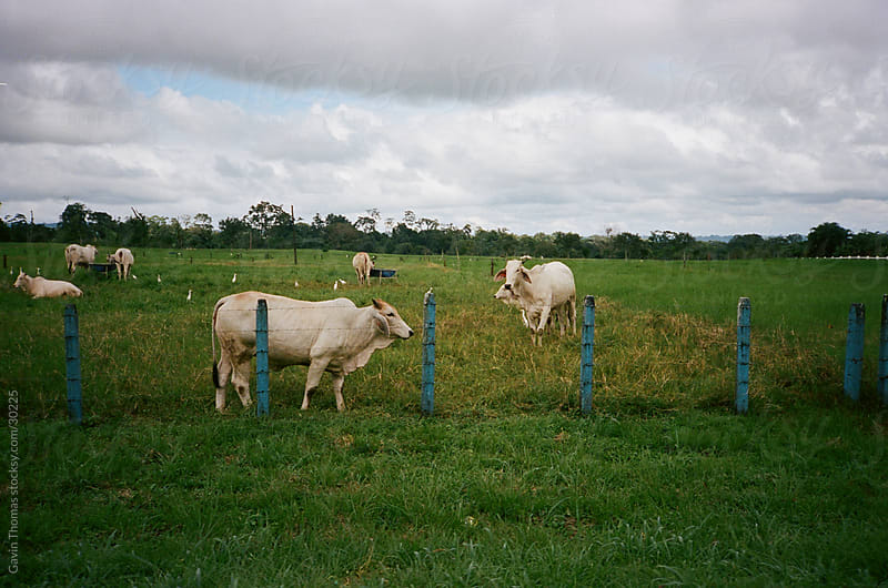 cows in field by Gavin Thomas for Stocksy United