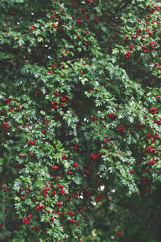 Berries on the hawthorn tree by Dobránska Renáta for Stocksy United