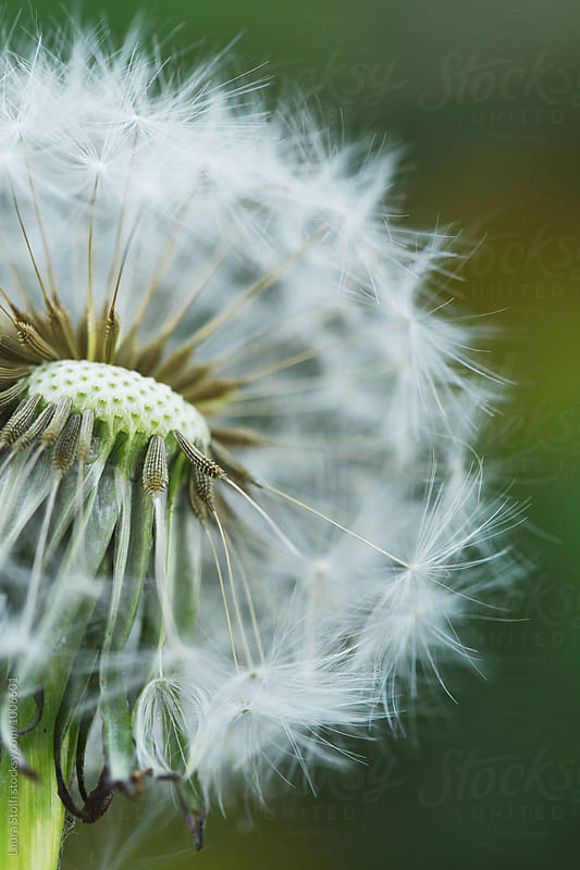 Close up of dandelion flower head with many seeds by Laura Stolfi for Stocksy United