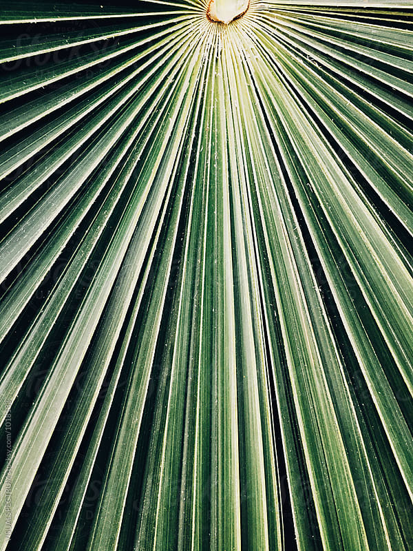 Close Up of Large Palm Leaf