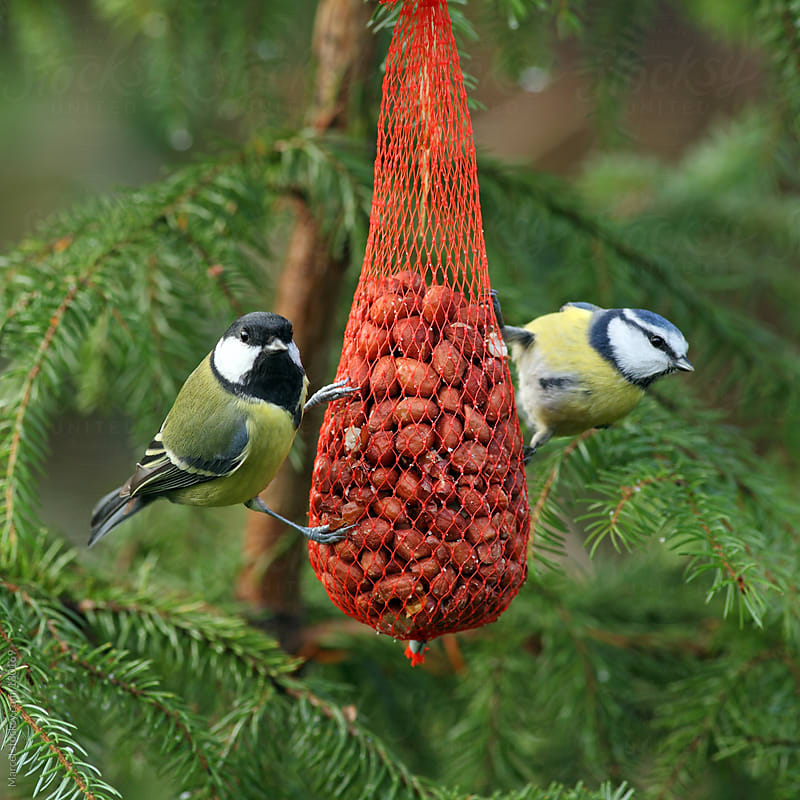 Birds on peanuts in Christmas tree by Marcel for Stocksy United