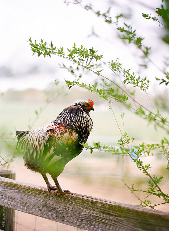 Free range rooster on fence by Ali Harper for Stocksy United
