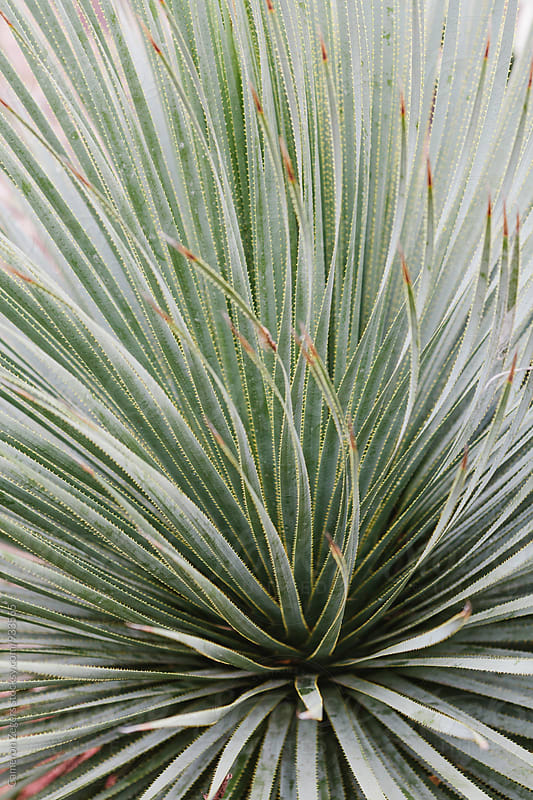 close-up of desert plant by Cameron Zegers for Stocksy United