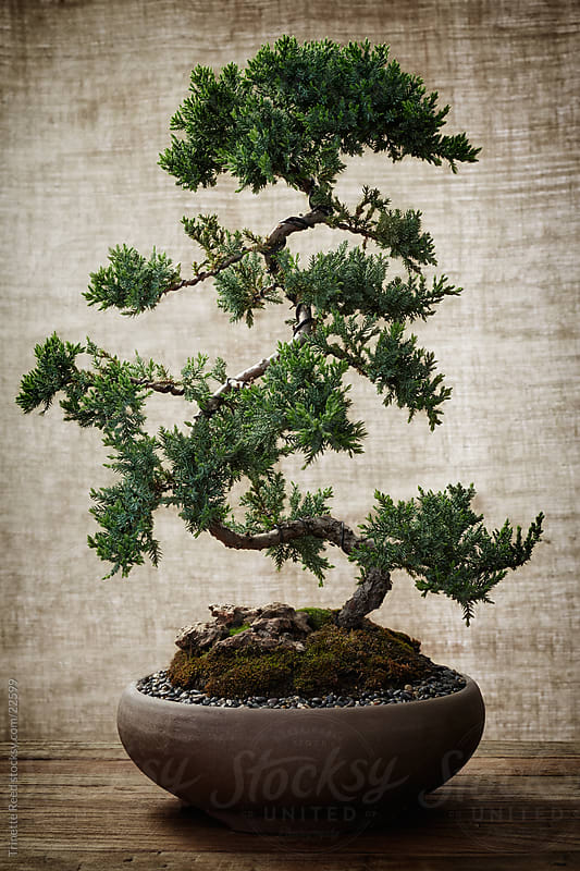 Bonsai Tree by Trinette Reed for Stocksy United