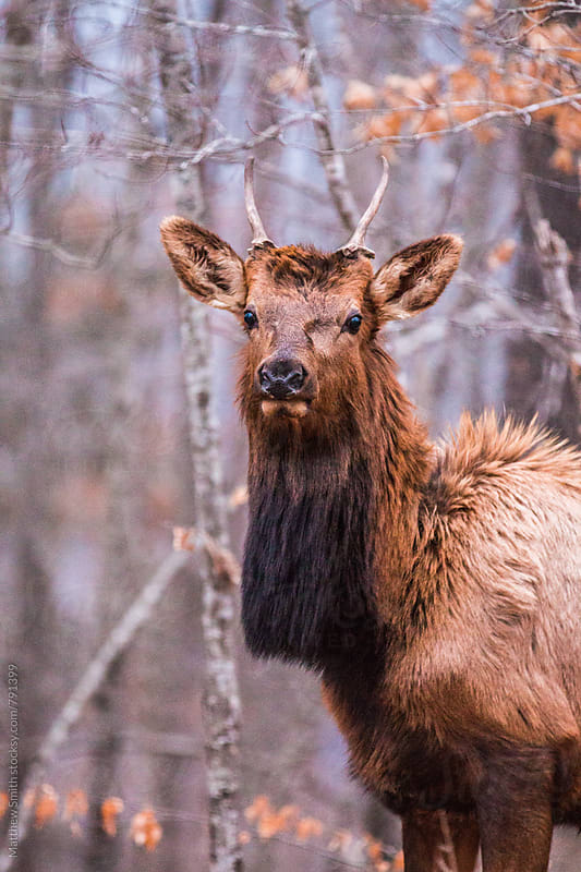 Elk In The Woods by Matthew Smith for Stocksy United