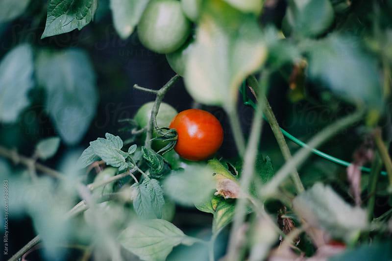 Tomato by Kara Riley for Stocksy United