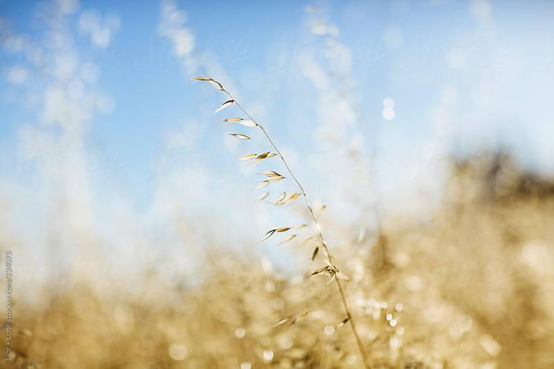 Single oat branch in a blurry field by Lior + Lone for Stocksy United
