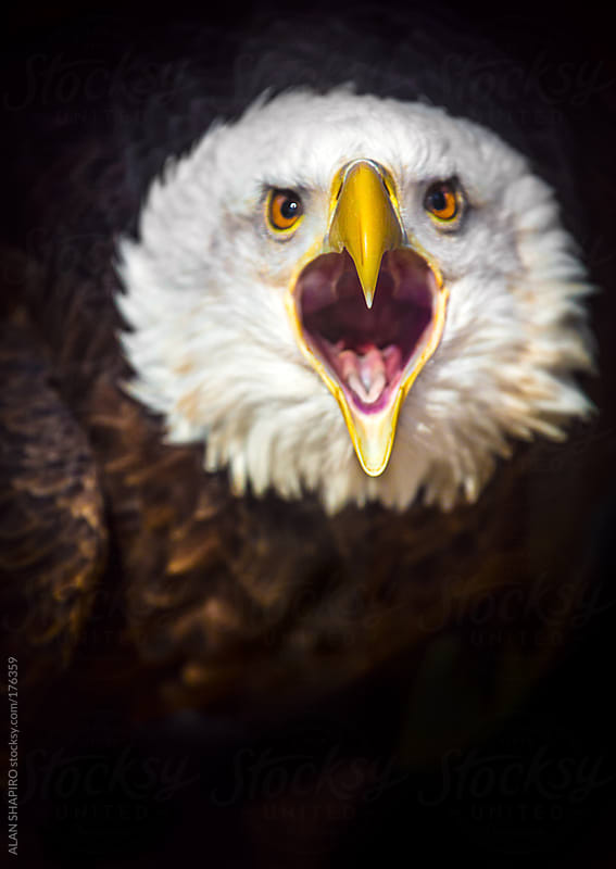 North American Bald Eagle...pissed by ALAN SHAPIRO for Stocksy United